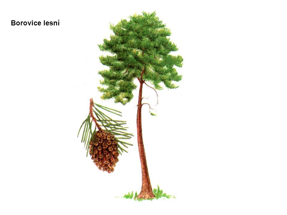 větve kmen kořenová soustava borovicesmrk Porovnání borovice a smrku