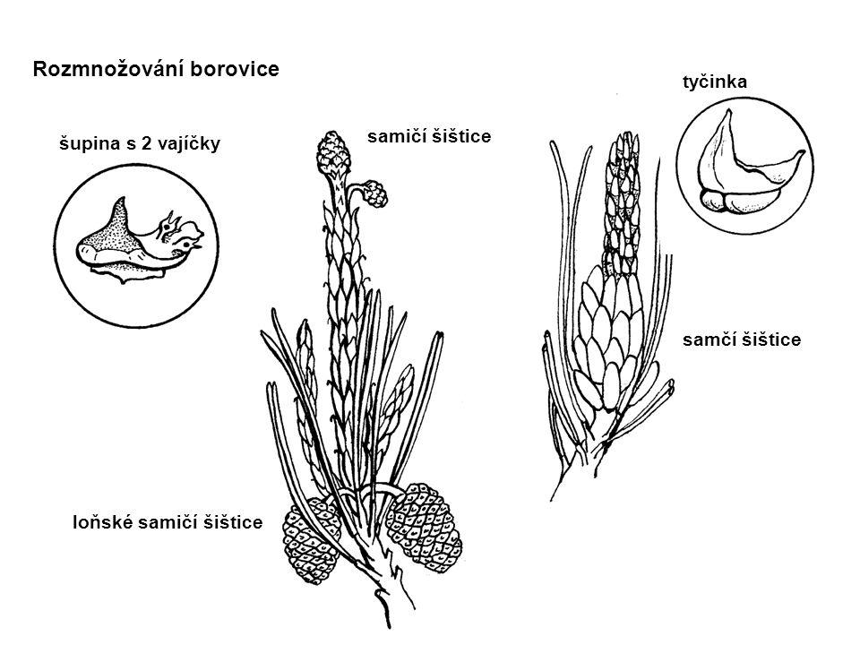 tyčinka pylová zrnka OPYLENÍ OPLOZEN Í Rozmnožování borovice vajíčka