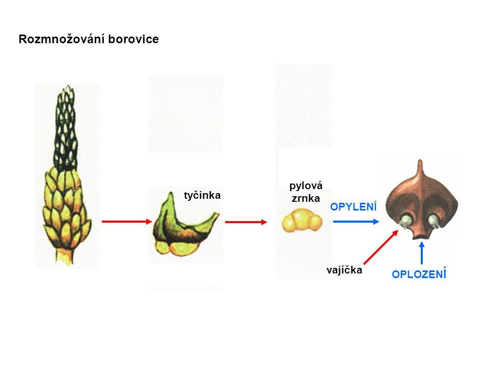 šiška tvořená zdřevnatělými šupinami nahé semeno s blanitým křidélkem Rozšiřování semen borovice