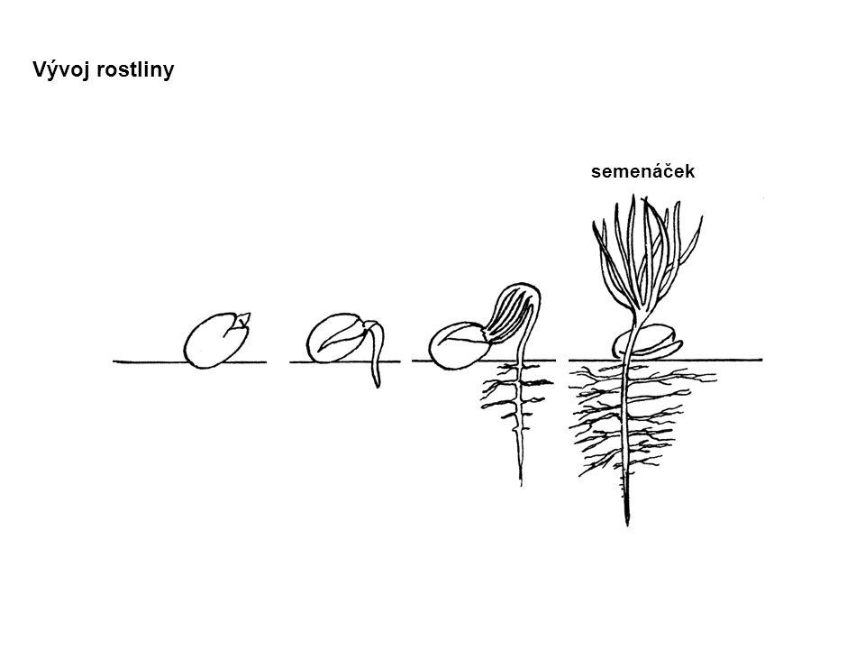 semenáček Vývoj rostliny