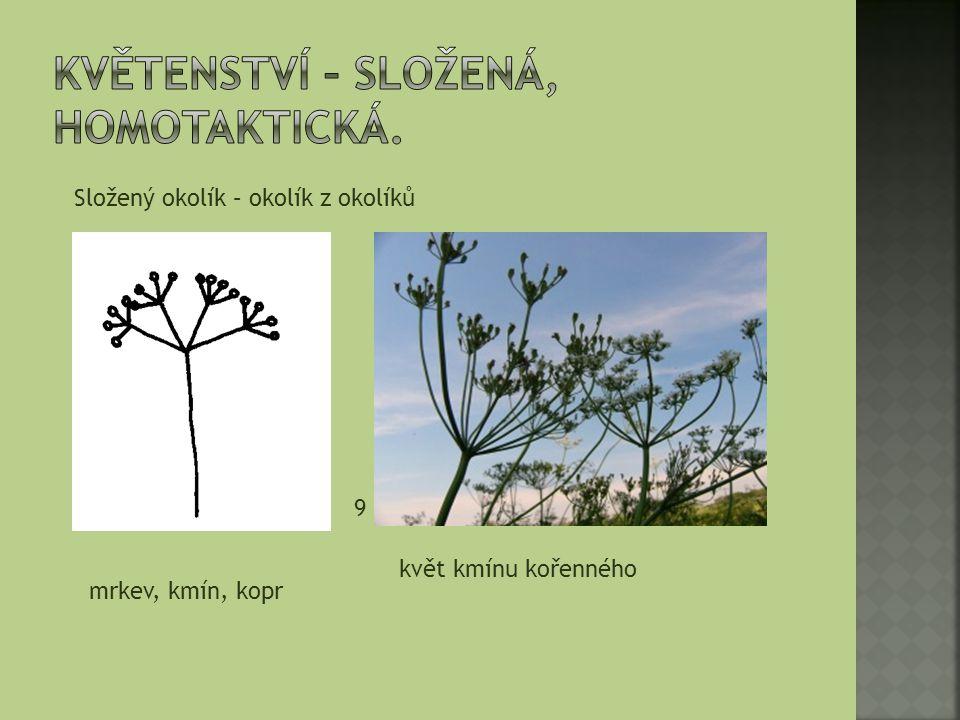Složený okolík – okolík z okolíků mrkev, kmín, kopr 9 květ kmínu kořenného