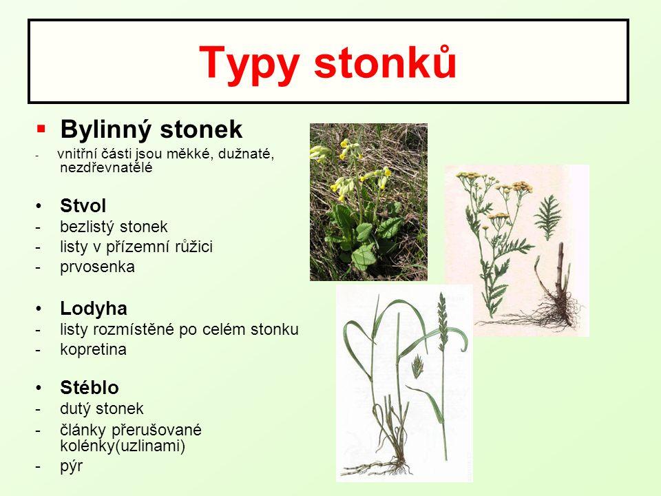 Typy stonků  Bylinný stonek - vnitřní části jsou měkké, dužnaté, nezdřevnatělé Stvol -bezlistý stonek -listy v přízemní růžici -prvosenka Lodyha -lis