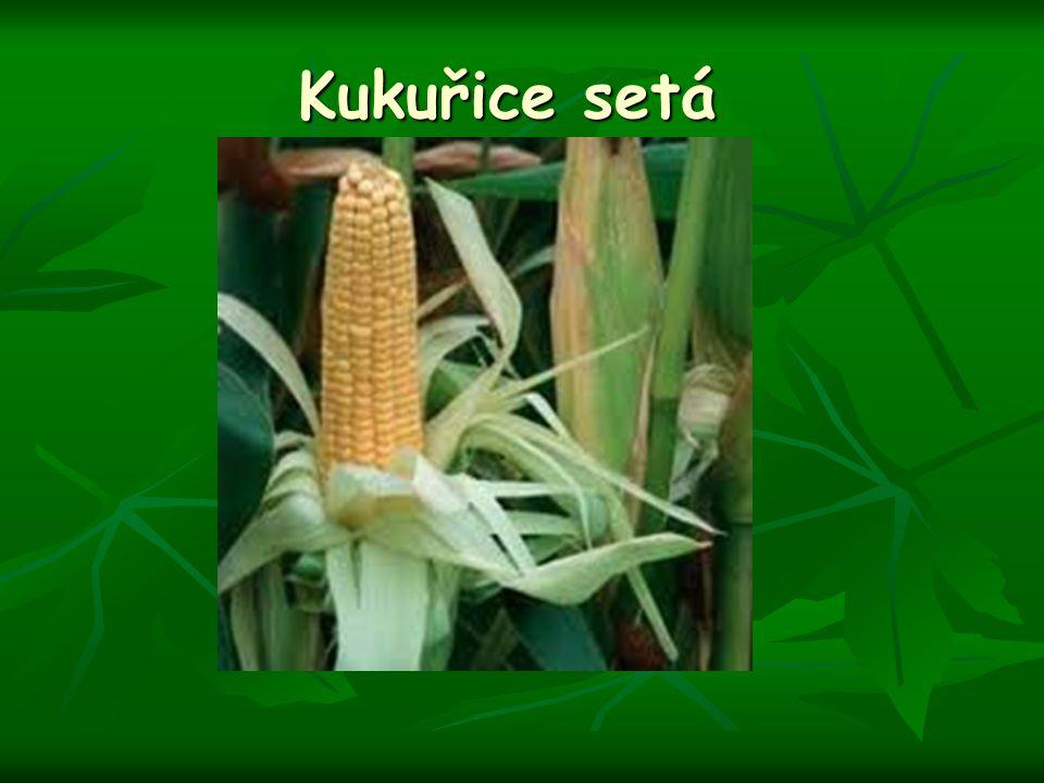 Kukuřice setá