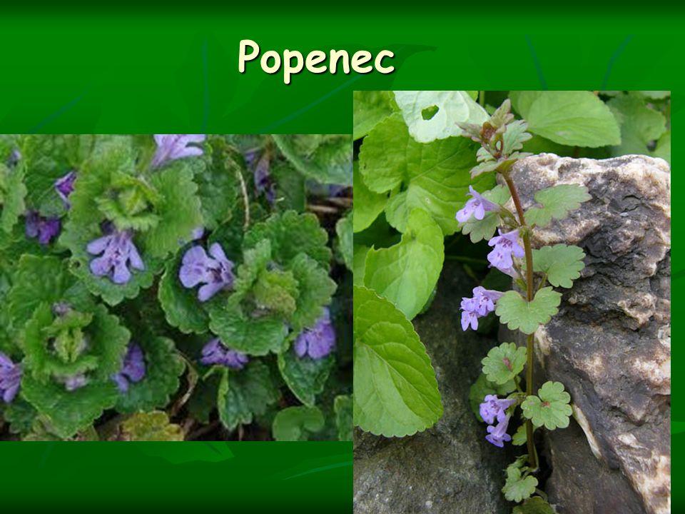 Popenec
