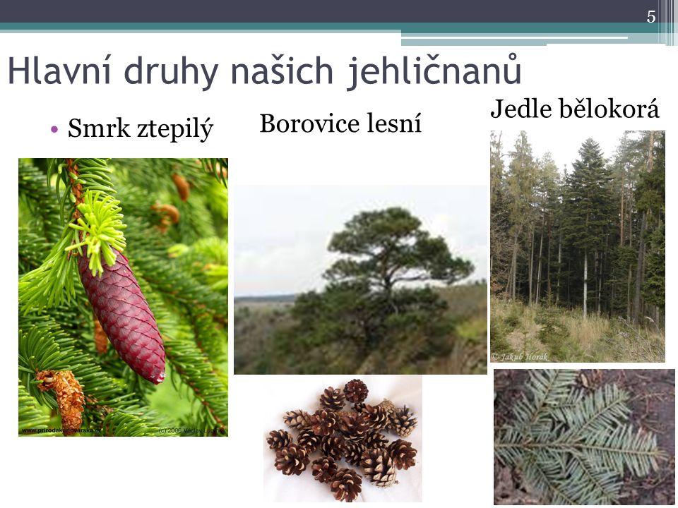 Hlavní druhy našich jehličnanů Smrk ztepilý 5 Borovice lesní Jedle bělokorá
