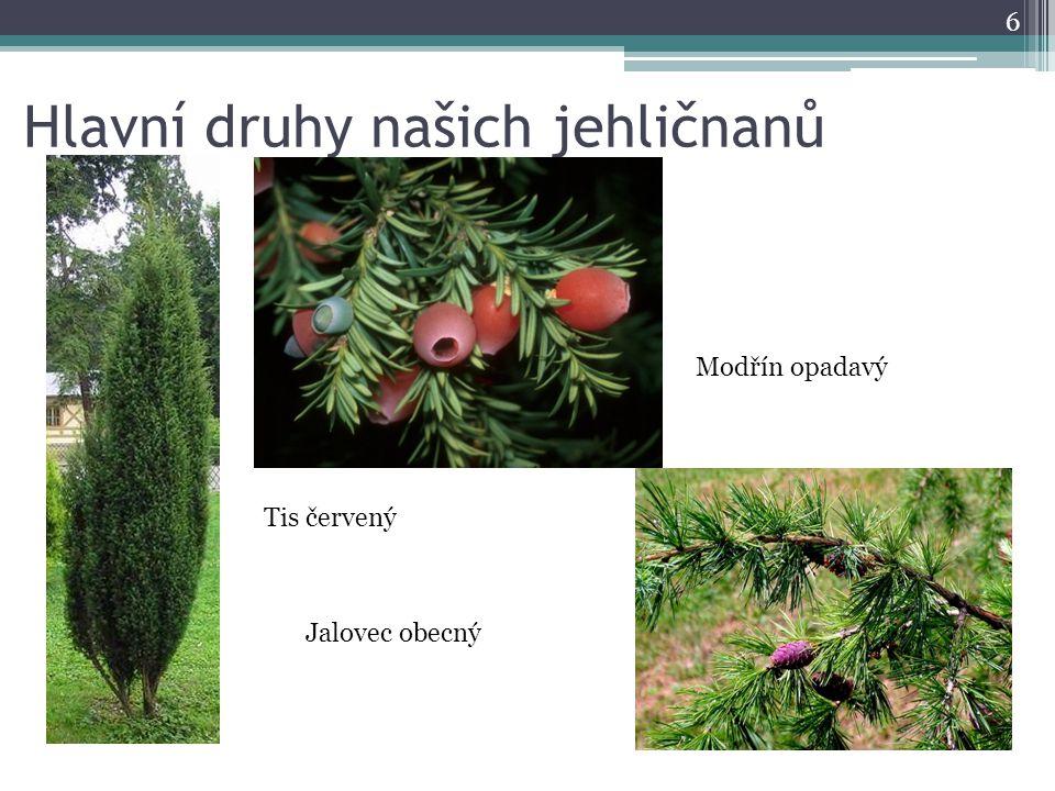 Hlavní druhy našich jehličnanů 6 Jalovec obecný Tis červený Modřín opadavý