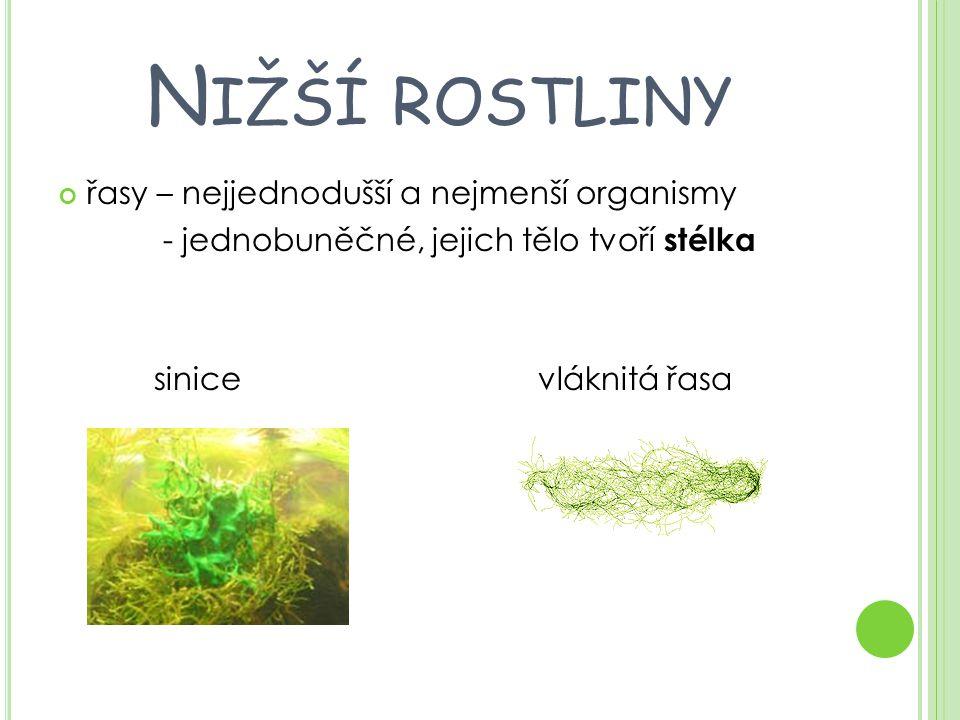 N IŽŠÍ ROSTLINY řasy – nejjednodušší a nejmenší organismy - jednobuněčné, jejich tělo tvoří stélka sinicevláknitá řasa