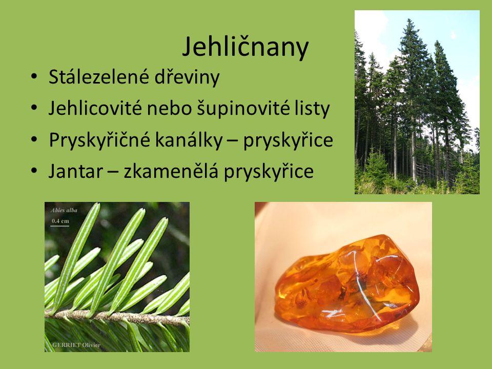 Jehličnany Stálezelené dřeviny Jehlicovité nebo šupinovité listy Pryskyřičné kanálky – pryskyřice Jantar – zkamenělá pryskyřice