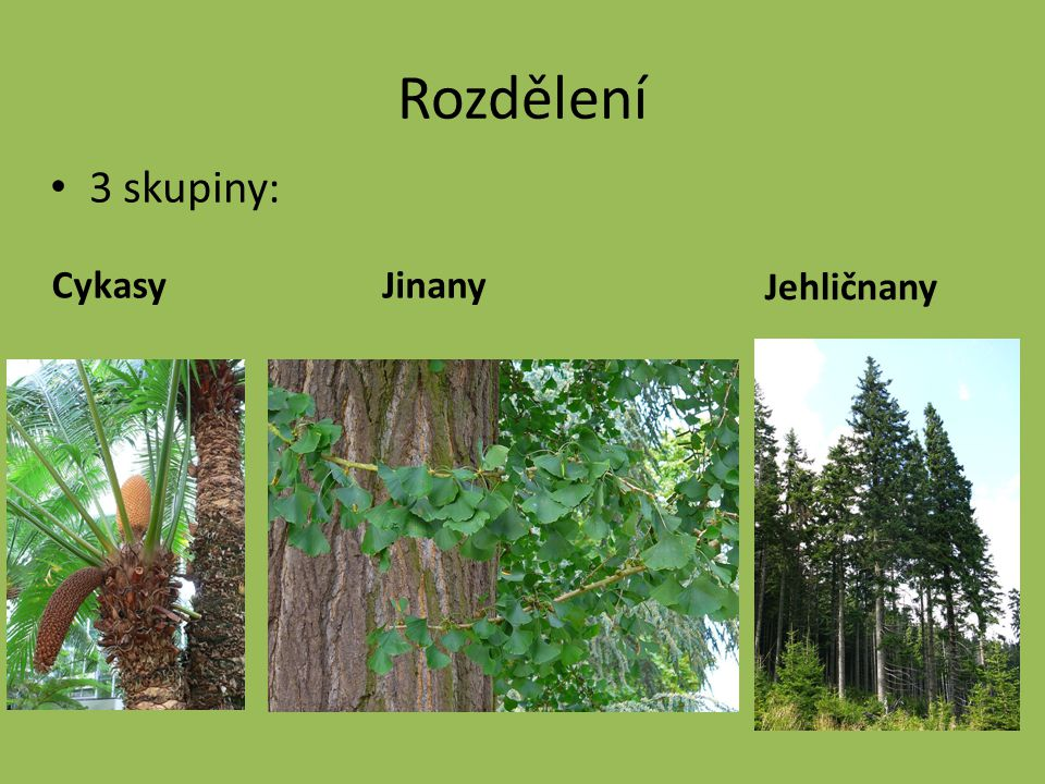 Rozdělení 3 skupiny: Cykasy Jinany Jehličnany
