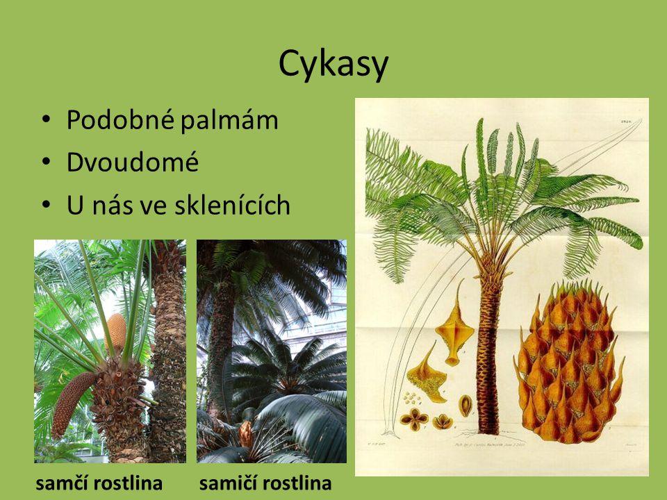 Cykasy Podobné palmám Dvoudomé U nás ve sklenících samčí rostlinasamičí rostlina