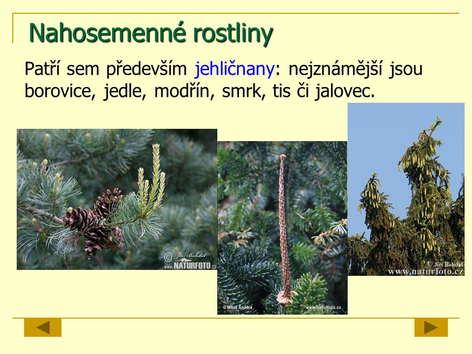 Nahosemenné rostliny Patří sem především jehličnany: nejznámější jsou borovice, jedle, modřín, smrk, tis či jalovec.
