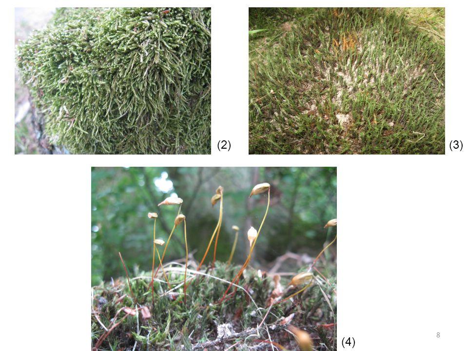 zástupci mechů ploník obecný rašeliník – chlorocysty, hyalocysty měřík obecný zkrutek vláhojevný bělomech sivý trávník schreberův dvouhrotec chvostnatý pramenička obecná – vodní mech 9