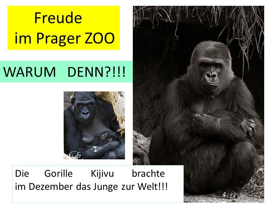 Freude im Prager ZOO WARUM DENN?!!! Die Gorille Kijivu brachte im Dezember das Junge zur Welt!!!