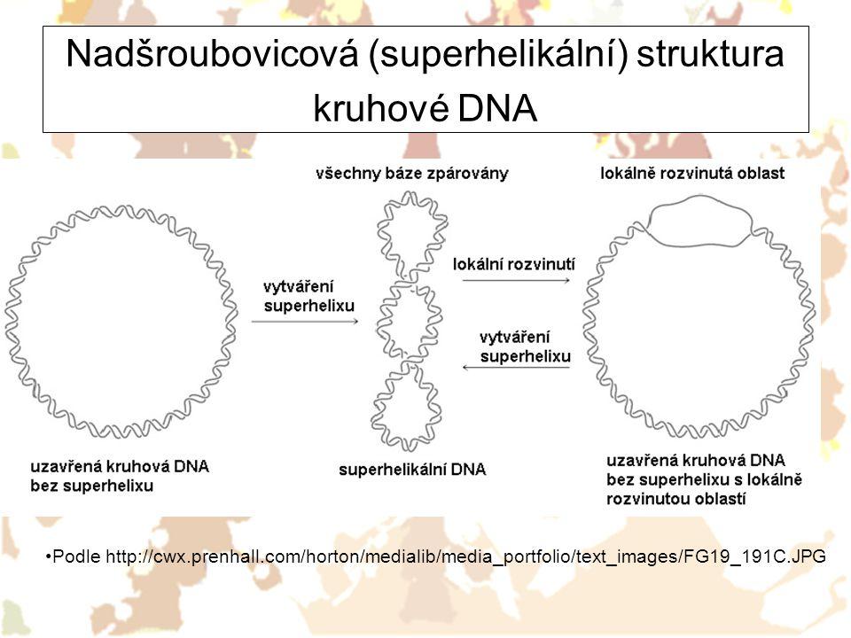 Nadšroubovicová (superhelikální) struktura kruhové DNA Podle http://cwx.prenhall.com/horton/medialib/media_portfolio/text_images/FG19_191C.JPG
