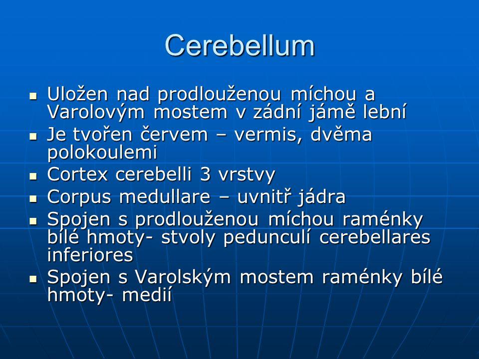 Cerebellum Uložen nad prodlouženou míchou a Varolovým mostem v zádní jámě lební Uložen nad prodlouženou míchou a Varolovým mostem v zádní jámě lební J