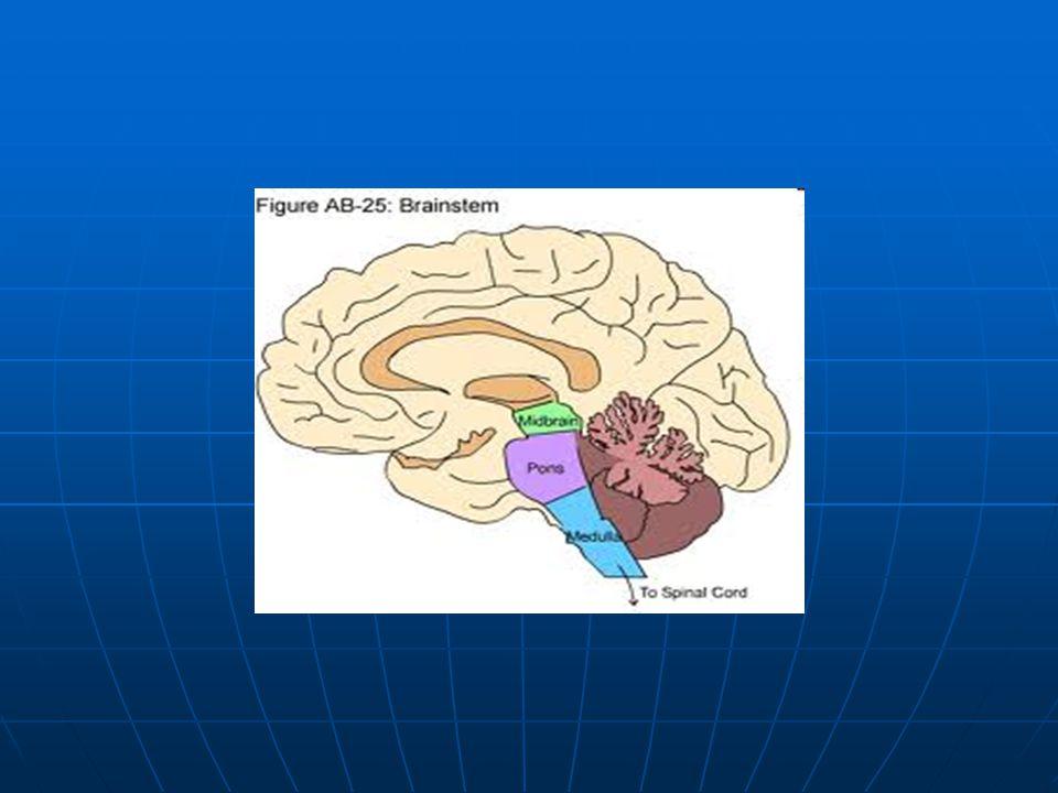 Cerebellum Uložen nad prodlouženou míchou a Varolovým mostem v zádní jámě lební Uložen nad prodlouženou míchou a Varolovým mostem v zádní jámě lební Je tvořen červem – vermis, dvěma polokoulemi Je tvořen červem – vermis, dvěma polokoulemi Cortex cerebelli 3 vrstvy Cortex cerebelli 3 vrstvy Corpus medullare – uvnitř jádra Corpus medullare – uvnitř jádra Spojen s prodlouženou míchou raménky bílé hmoty- stvoly pedunculí cerebellares inferiores Spojen s prodlouženou míchou raménky bílé hmoty- stvoly pedunculí cerebellares inferiores Spojen s Varolským mostem raménky bílé hmoty- medií Spojen s Varolským mostem raménky bílé hmoty- medií
