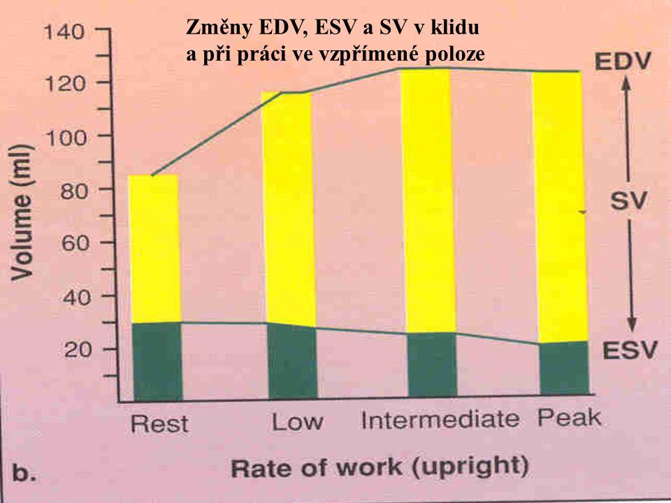 Změny EDV, ESV a SV v klidu a při práci ve vzpřímené poloze