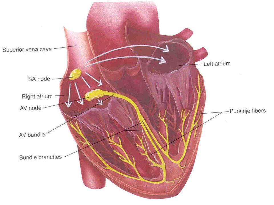 KARDIOVASKULÁRNÍ ODPOVĚĎ NA ZÁTĚŽ  Při redukci PV stoupá hemokoncentrace.