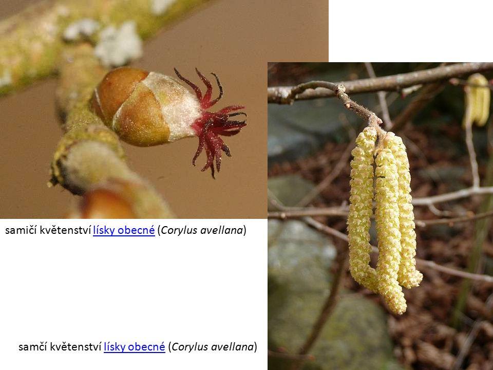samičí květenství lísky obecné (Corylus avellana)lísky obecné samčí květenství lísky obecné (Corylus avellana)lísky obecné