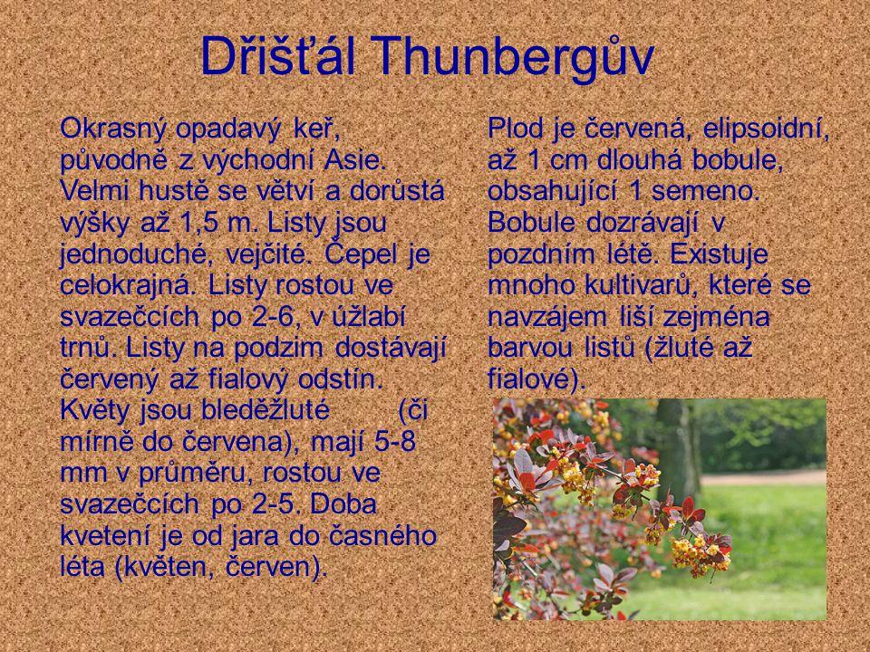 Dřišťál Thunbergův Okrasný opadavý keř, původně z východní Asie.