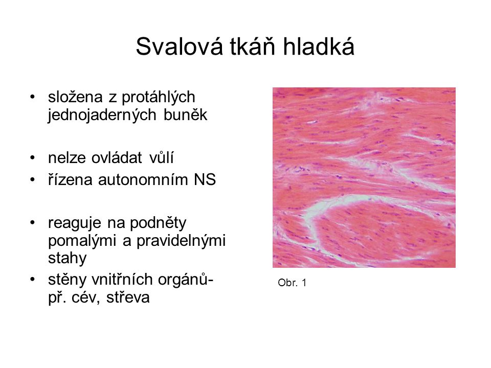 Svalová tkáň hladká složena z protáhlých jednojaderných buněk nelze ovládat vůlí řízena autonomním NS reaguje na podněty pomalými a pravidelnými stahy stěny vnitřních orgánů- př.
