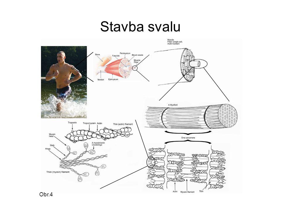 Stavba svalu svalová vlákna – svalové snopečky – svalové snopce – sval povrch svalu krytý svalovou povázkou bříško svalu šlachy – upínají sval ke kostře
