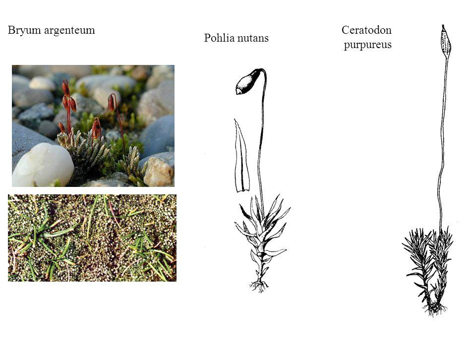 Funaria hygrometrica Tortula ruralis