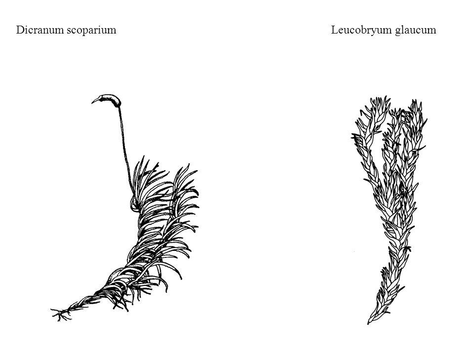 Dicranum scopariumLeucobryum glaucum