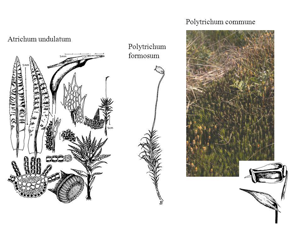 Atrichum undulatum Polytrichum formosum Polytrichum commune