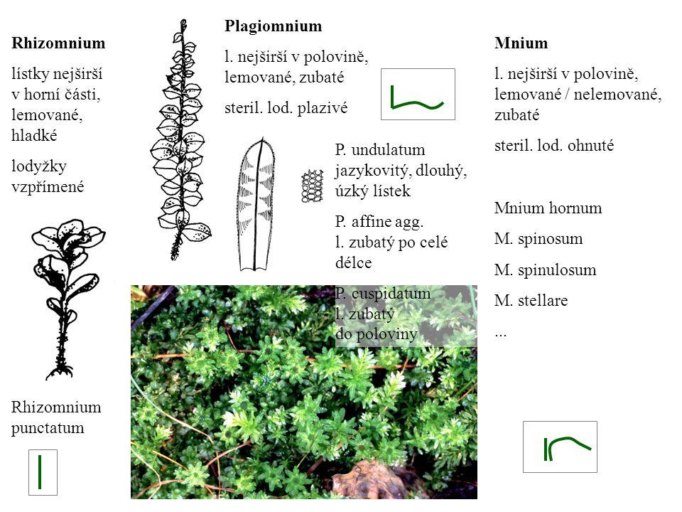 Plagiomnium l. nejširší v polovině, lemované, zubaté steril. lod. plazivé Rhizomnium lístky nejširší v horní části, lemované, hladké lodyžky vzpřímené