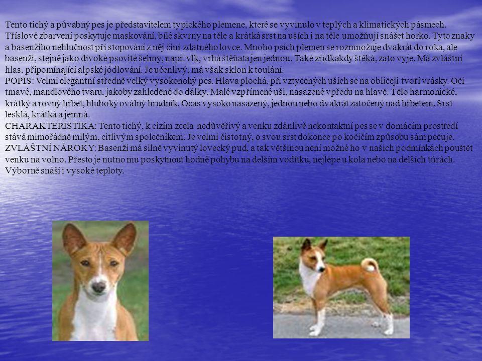 Tento tichý a půvabný pes je představitelem typického plemene, které se vyvinulo v teplých a klimatických pásmech. Tříslové zbarvení poskytuje masková