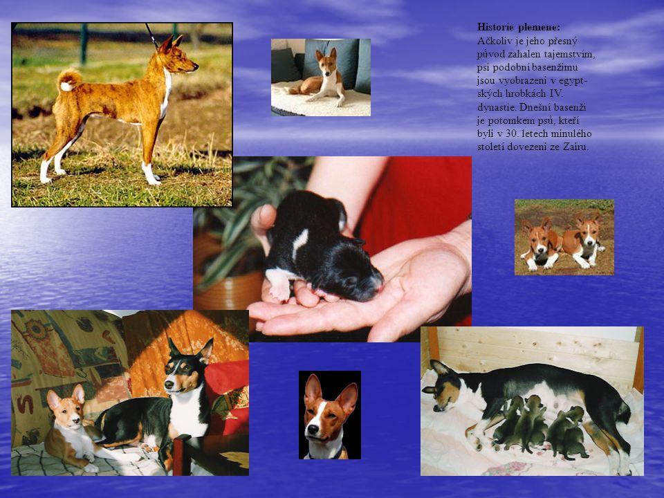 Historie plemene: Ačkoliv je jeho přesný původ zahalen tajemstvím, psi podobní basenžimu jsou vyobrazeni v egypt- ských hrobkách IV.
