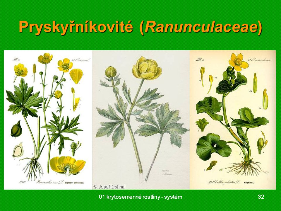 01 krytosemenné rostliny - systém3201 krytosemenné rostliny - systém32 Pryskyřníkovité (Ranunculaceae)