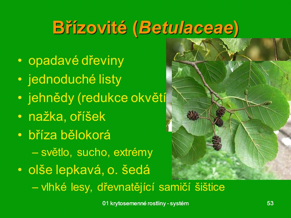 01 krytosemenné rostliny - systém5301 krytosemenné rostliny - systém53 Břízovité (Betulaceae) opadavé dřeviny jednoduché listy jehnědy (redukce okvětí) nažka, oříšek bříza bělokorá –světlo, sucho, extrémy olše lepkavá, o.