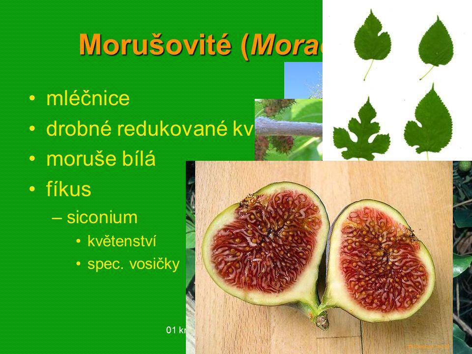01 krytosemenné rostliny - systém60 Morušovité (Moraceae) mléčnice drobné redukované květy moruše bílá fíkus –siconium květenství spec. vosičky