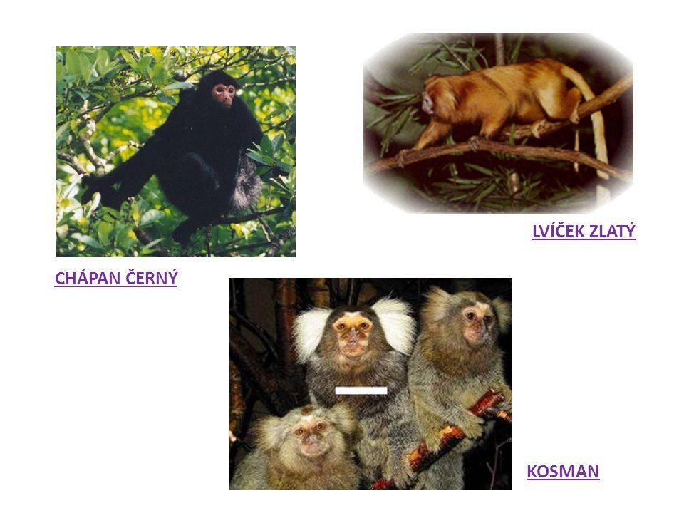 B/ Úzkonosé opice KOČKODANI Pohybují se po všech čtyřech končetinách, a to i ve větvích.