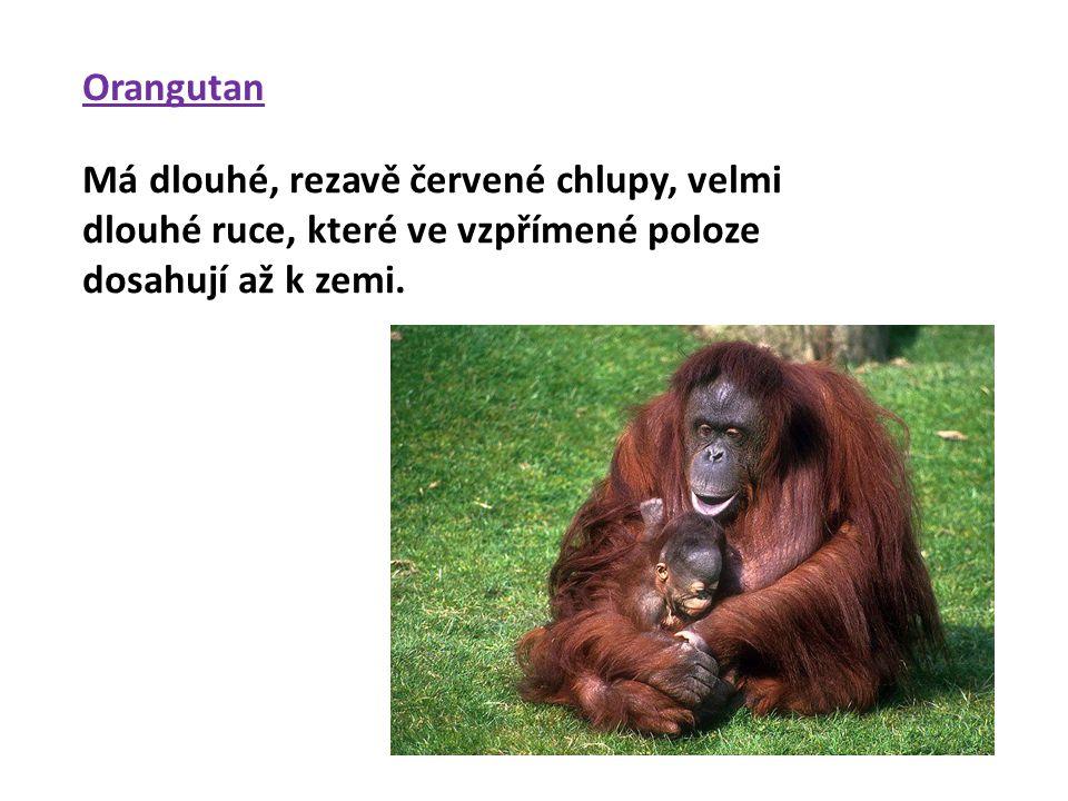 Orangutan Má dlouhé, rezavě červené chlupy, velmi dlouhé ruce, které ve vzpřímené poloze dosahují až k zemi.