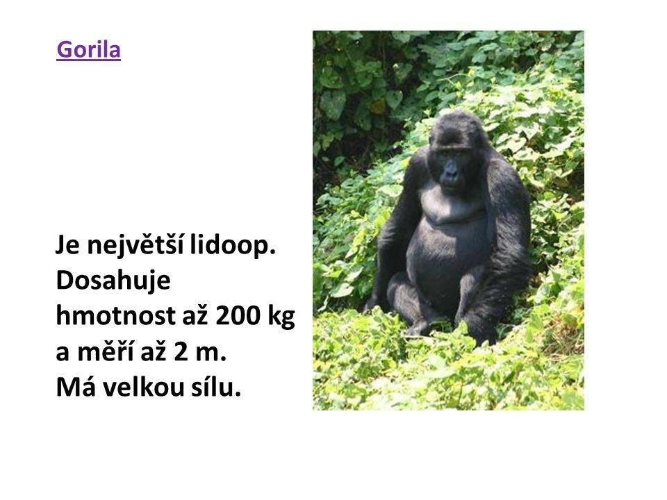 Gorila Je největší lidoop. Dosahuje hmotnost až 200 kg a měří až 2 m. Má velkou sílu.