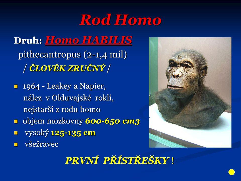 Rod Homo Druh: Homo HABILIS pithecantropus (2-1,4 mil) pithecantropus (2-1,4 mil) / ČLOVĚK ZRUČNÝ / / ČLOVĚK ZRUČNÝ / 1964 - Leakey a Napier, 1964 - L