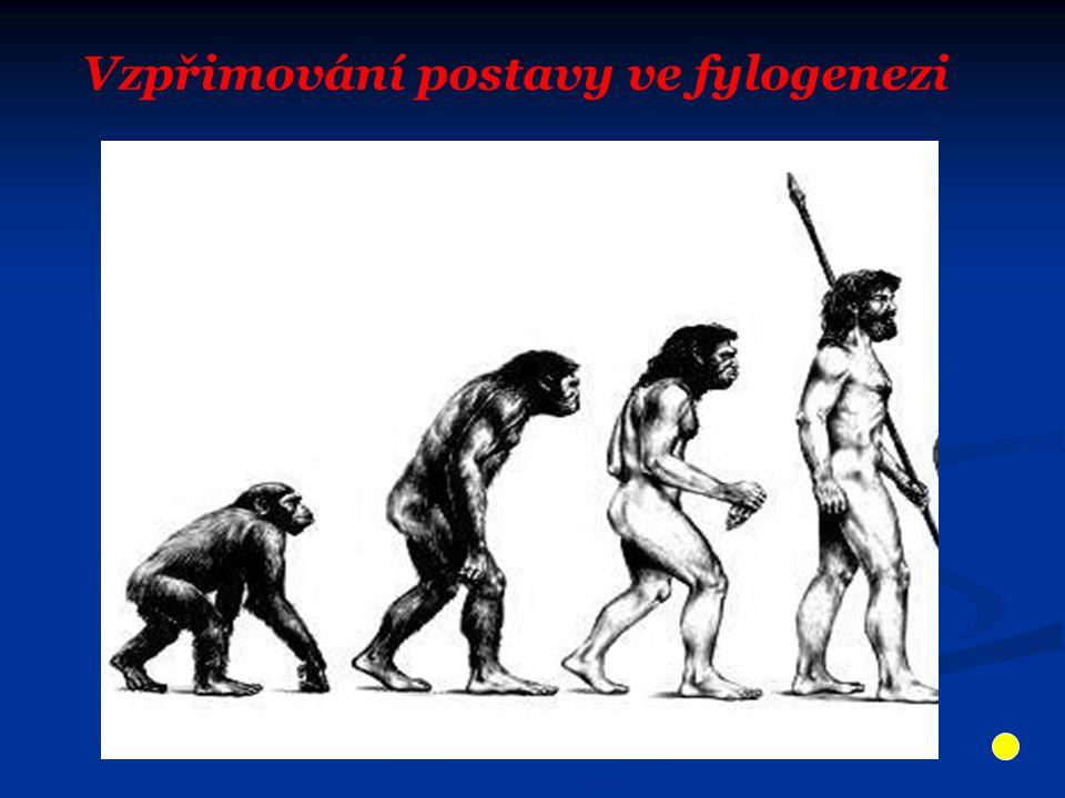 Vzpřimování postavy ve fylogenezi