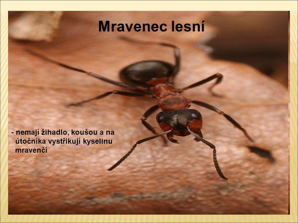 Mravenec lesní - nemají žihadlo, koušou a na útočníka vystřikují kyselinu mravenčí