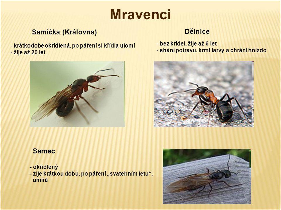 Mravenci Samička (Královna) - krátkodobě okřídlená, po páření si křídla ulomí - žije až 20 let Dělnice - bez křídel, žije až 6 let - shání potravu, kr