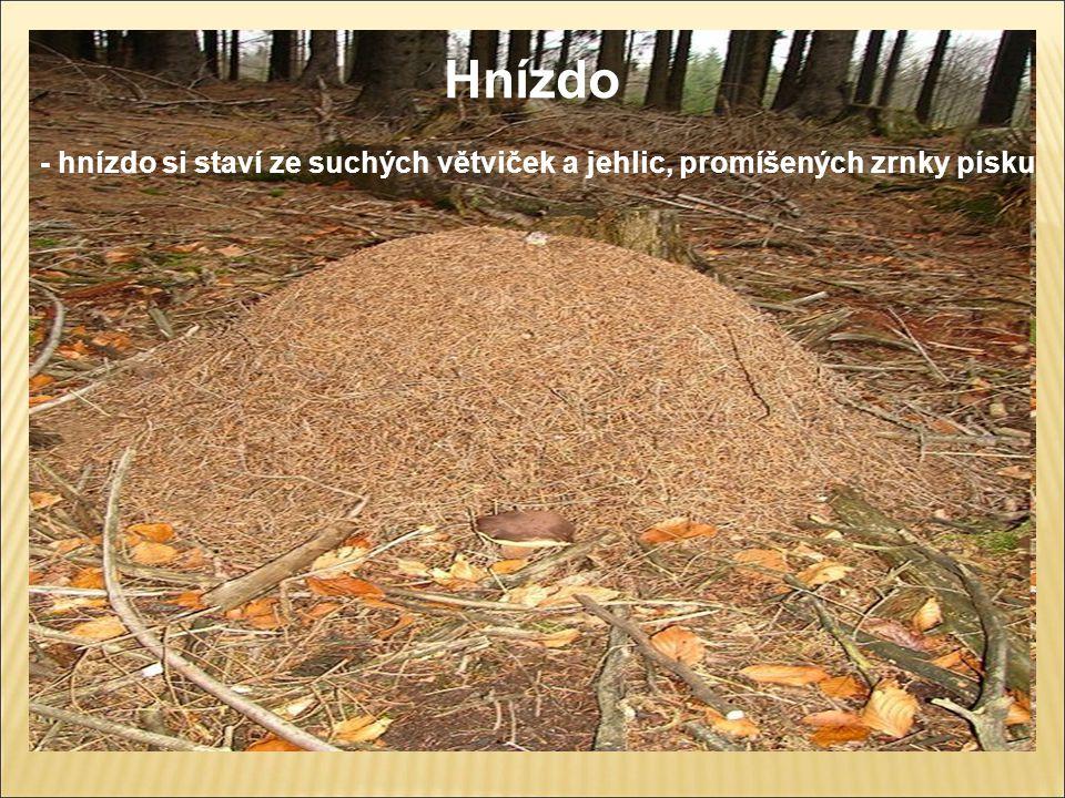 Hnízdo - hnízdo si staví ze suchých větviček a jehlic, promíšených zrnky písku
