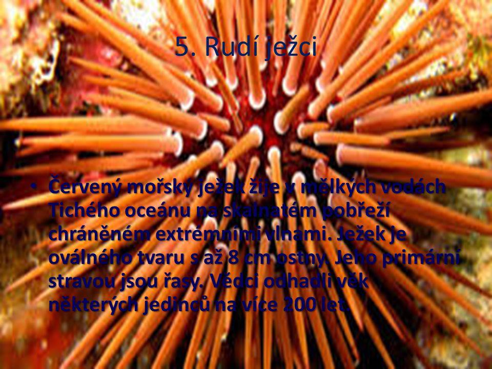 5. Rudí ježci Červený mořský ježek žije v mělkých vodách Tichého oceánu na skalnatém pobřeží chráněném extrémními vlnami. Ježek je oválného tvaru s až