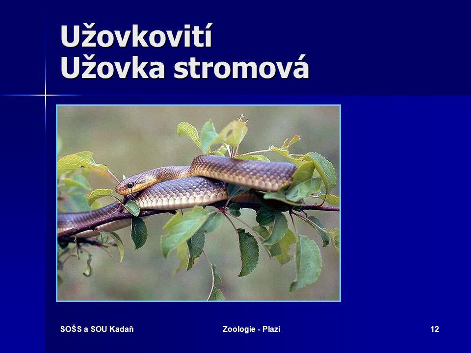 SOŠS a SOU KadaňZoologie - Plazi11 Užovkovití Nejedovatí hadi, nebo mají zadní jedové zuby. Nejedovatí hadi, nebo mají zadní jedové zuby. Kruhové zorn