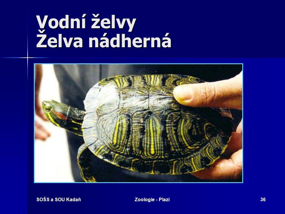 SOŠS a SOU KadaňZoologie - Plazi35 Vodní želvy Kajmanka dravá