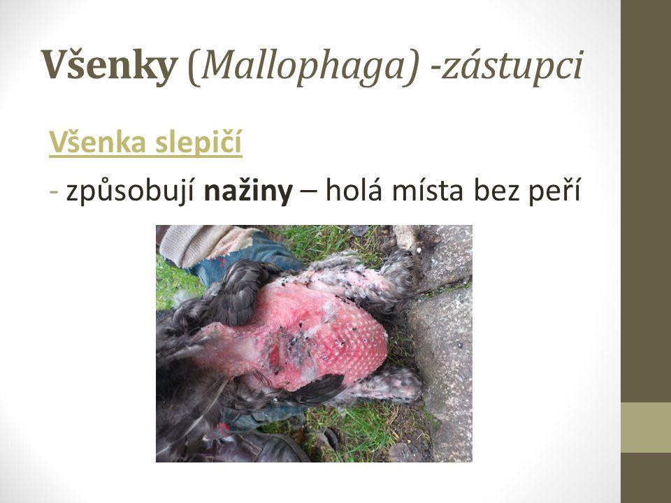 Všenky (Mallophaga) -zástupci Všenka slepičí -způsobují nažiny – holá místa bez peří