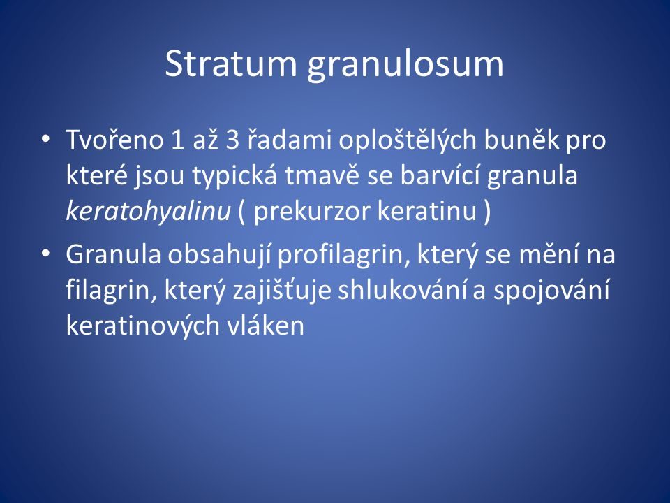 Stratum granulosum Tvořeno 1 až 3 řadami oploštělých buněk pro které jsou typická tmavě se barvící granula keratohyalinu ( prekurzor keratinu ) Granul