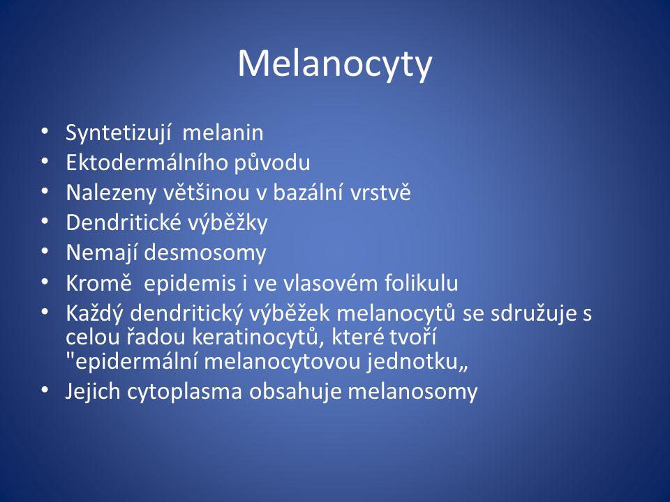 Melanocyty Syntetizují melanin Ektodermálního původu Nalezeny většinou v bazální vrstvě Dendritické výběžky Nemají desmosomy Kromě epidemis i ve vlaso