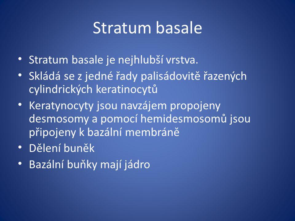 Stratum basale Stratum basale je nejhlubší vrstva. Skládá se z jedné řady palisádovitě řazených cylindrických keratinocytů Keratynocyty jsou navzájem